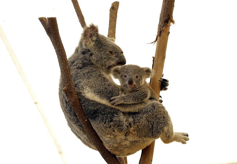 龙柏考拉动物园的考拉(摄影 贺吉)