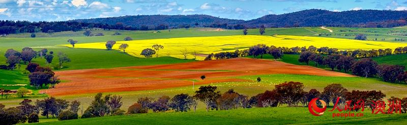 澳大利亚新州油菜花海吸引游客踏春赏花