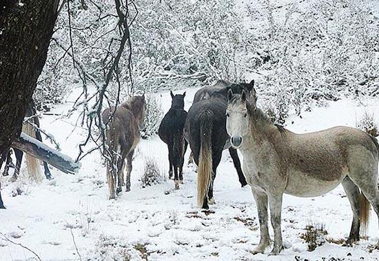 澳野马数量过多威胁生态平衡