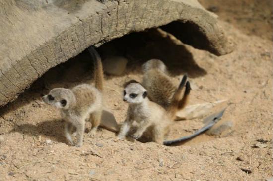 三隻小狐獴(圖片來源:堪培拉國家動物園) 人民網悉尼9月21日電 據澳大利亞廣播公司報道,堪培拉國家動物園裡,滿月的三隻小狐獴已經准備好與游客見面了。 狐獴原棲息於非洲南部,生活在草原和開闊平原地區。狐獴是非常社會化的動物,擅長挖洞,族群會共同生活地下的多入口網狀洞穴中。三隻狐獴寶寶出生在八月,出生時隻有150克,在滿月前一直由它們的父母在洞穴中照顧著。  三隻小狐獴(圖片來源:堪培拉國家動物園) 該動物園運營經理蕾妮奧斯特羅有著一份令人羨慕的工作,那就是照看狐獴寶寶長大。她說,看狐獴寶寶們探索新的環境