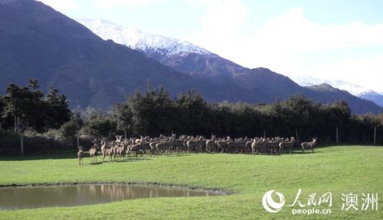 参展第二届进博会新西兰最大鹿企盼扎根中国市场